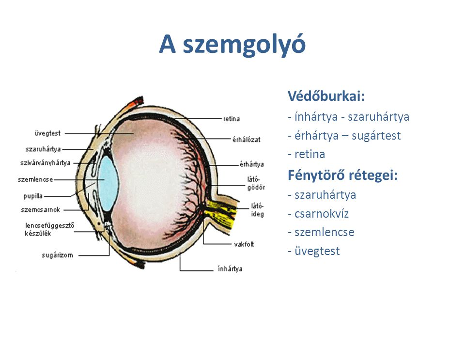 A szemgolyó Védőburkai: Fénytörő rétegei: - ínhártya - szaruhártya
