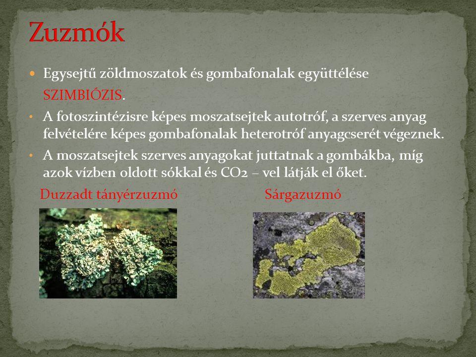 Zuzmók Egysejtű zöldmoszatok és gombafonalak együttélése SZIMBIÓZIS.