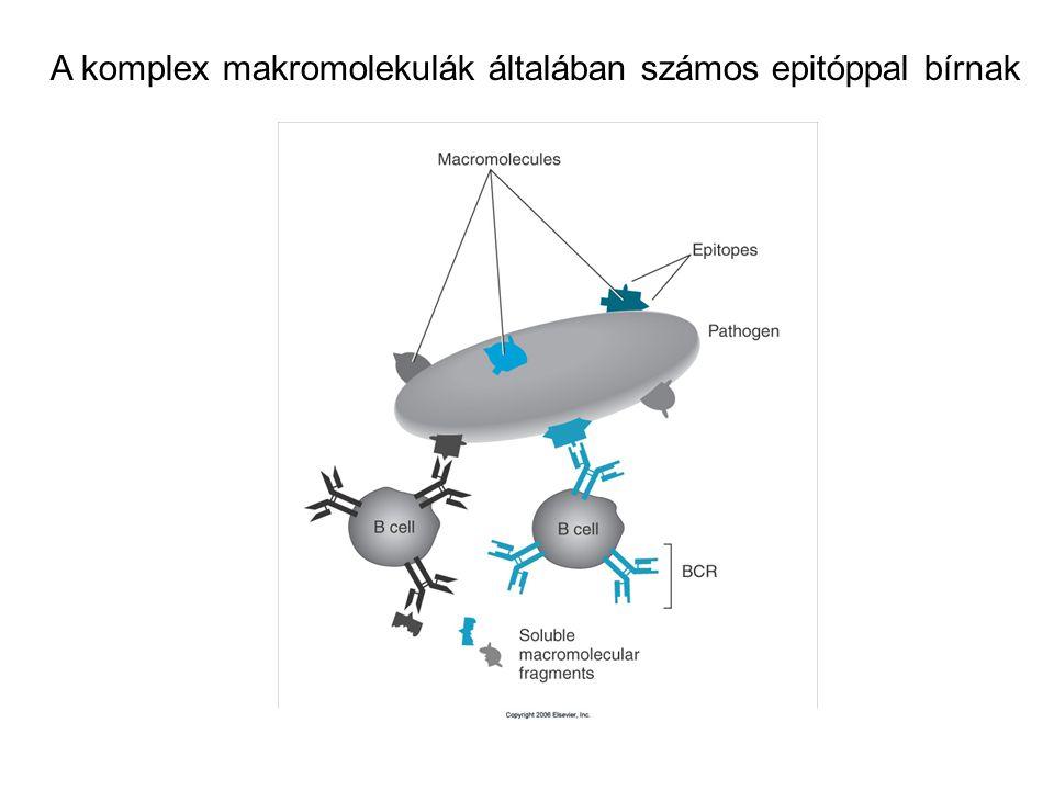 A komplex makromolekulák általában számos epitóppal bírnak