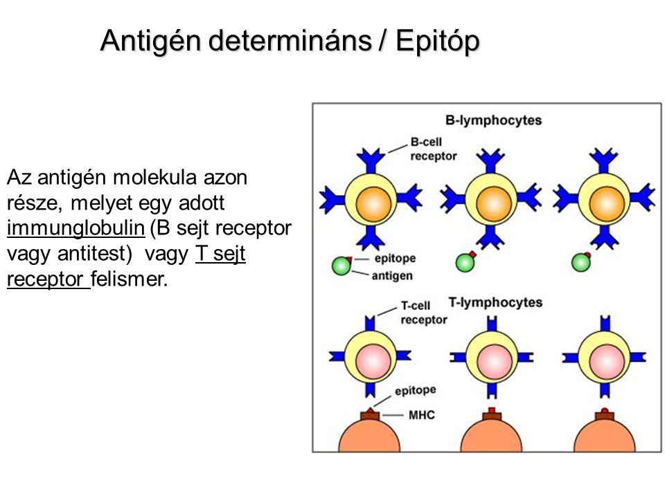 Antigén determináns / Epitóp