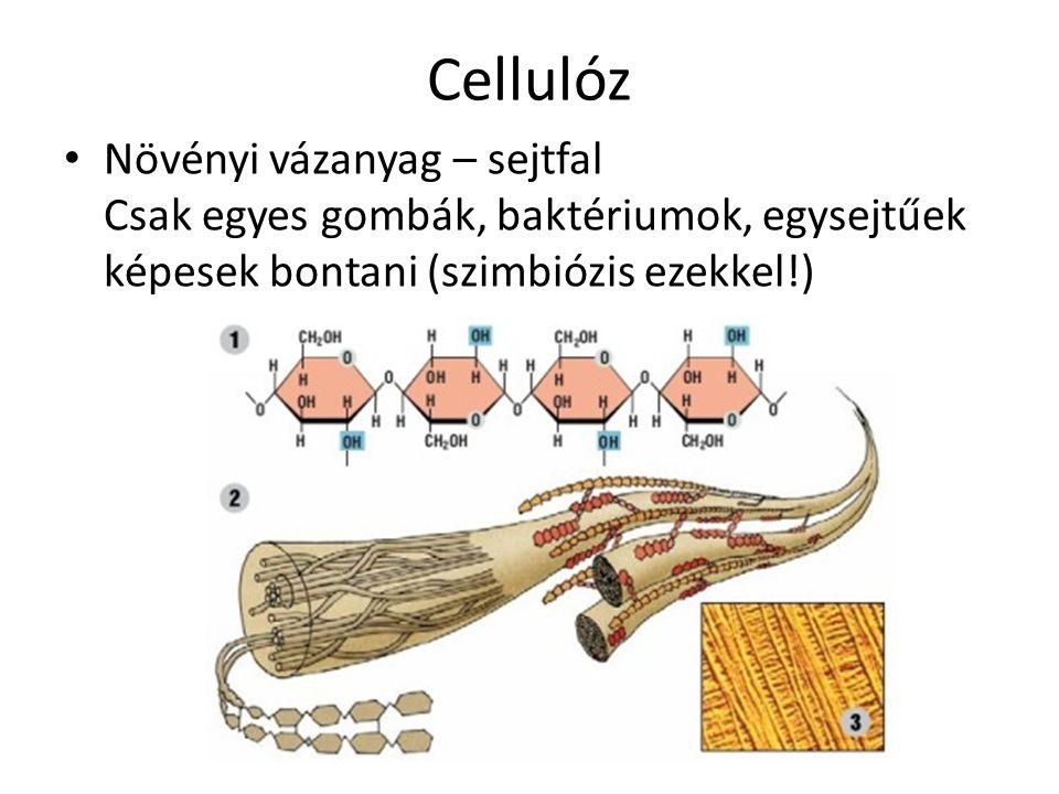 Cellulóz Növényi vázanyag – sejtfal Csak egyes gombák, baktériumok, egysejtűek képesek bontani (szimbiózis ezekkel!)