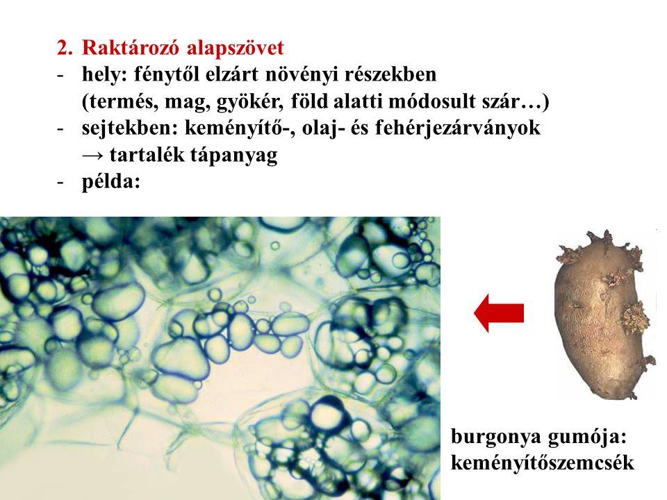 Raktározó alapszövet hely: fénytől elzárt növényi részekben (termés, mag, gyökér, föld alatti módosult szár…)