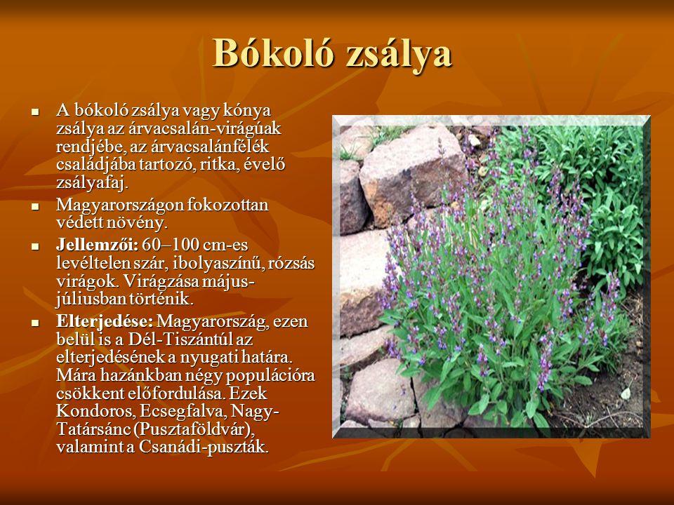 Bókoló zsálya A bókoló zsálya vagy kónya zsálya az árvacsalán-virágúak rendjébe, az árvacsalánfélék családjába tartozó, ritka, évelő zsályafaj.