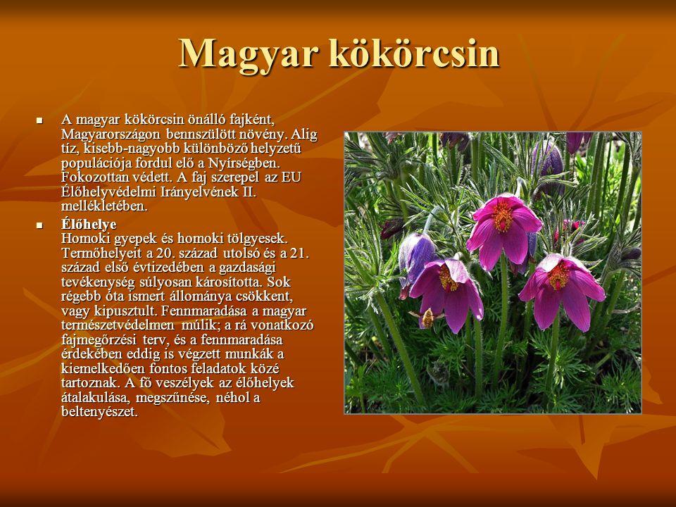 Magyar kökörcsin