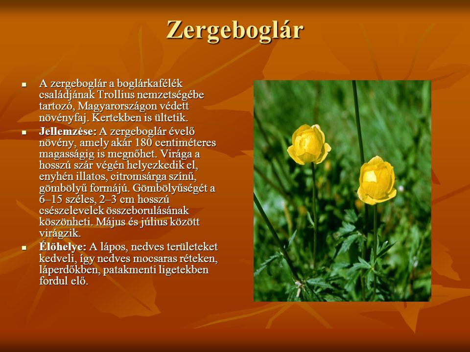 Zergeboglár A zergeboglár a boglárkafélék családjának Trollius nemzetségébe tartozó, Magyarországon védett növényfaj. Kertekben is ültetik.