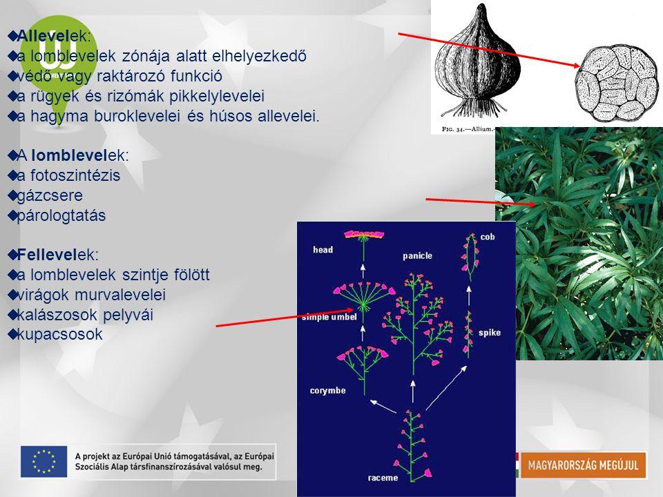 Allevelek: a lomblevelek zónája alatt elhelyezkedő. védő vagy raktározó funkció. a rügyek és rizómák pikkelylevelei.