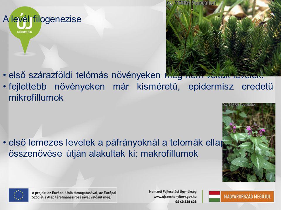 A levél filogenezise első szárazföldi telómás növényeken még nem voltak levelek.