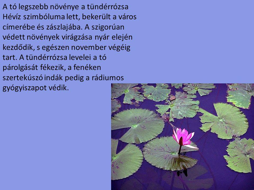 A tó legszebb növénye a tündérrózsa Hévíz szimbóluma lett, bekerült a város címerébe és zászlajába. A szigorúan védett növények virágzása nyár elején kezdődik, s egészen november végéig tart. A tündérrózsa levelei a tó párolgását fékezik, a fenéken szertekúszó indák pedig a rádiumos gyógyiszapot védik.