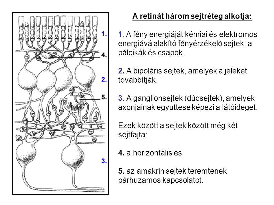 A retinát három sejtréteg alkotja: