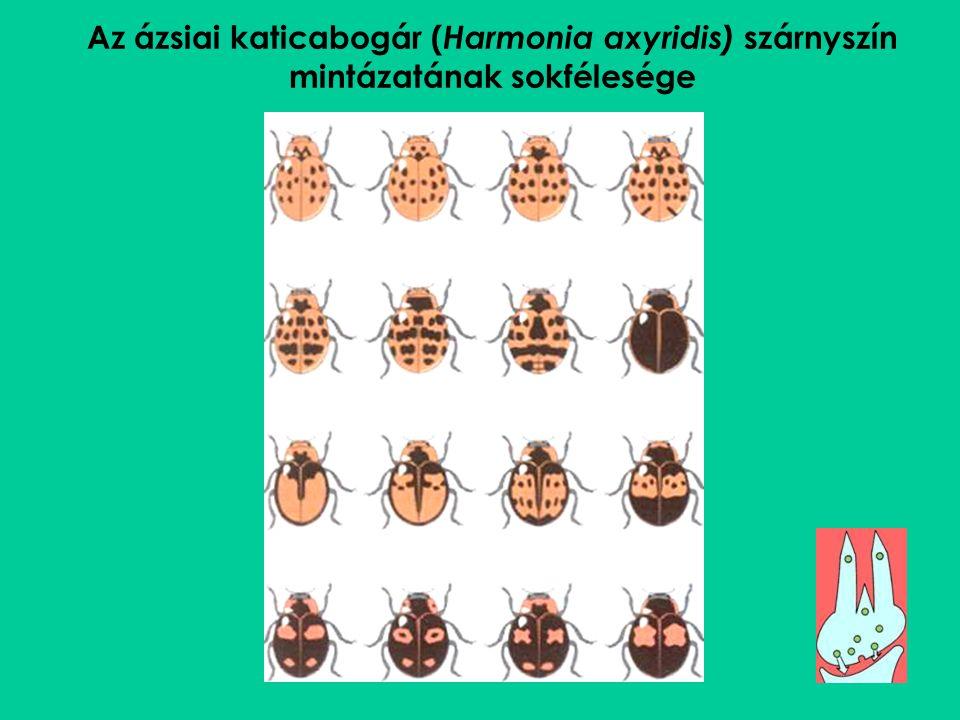 Az ázsiai katicabogár (Harmonia axyridis) szárnyszín mintázatának sokfélesége