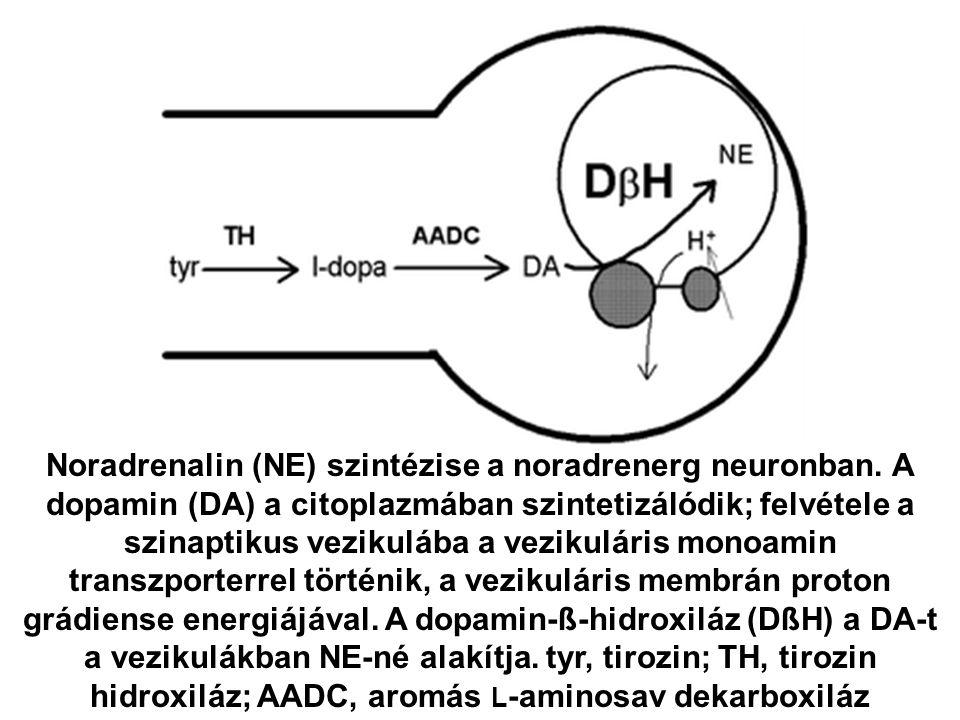 Noradrenalin (NE) szintézise a noradrenerg neuronban