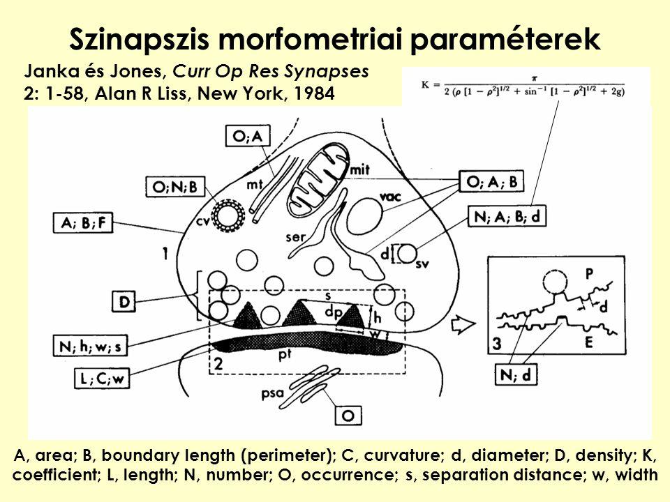 Szinapszis morfometriai paraméterek