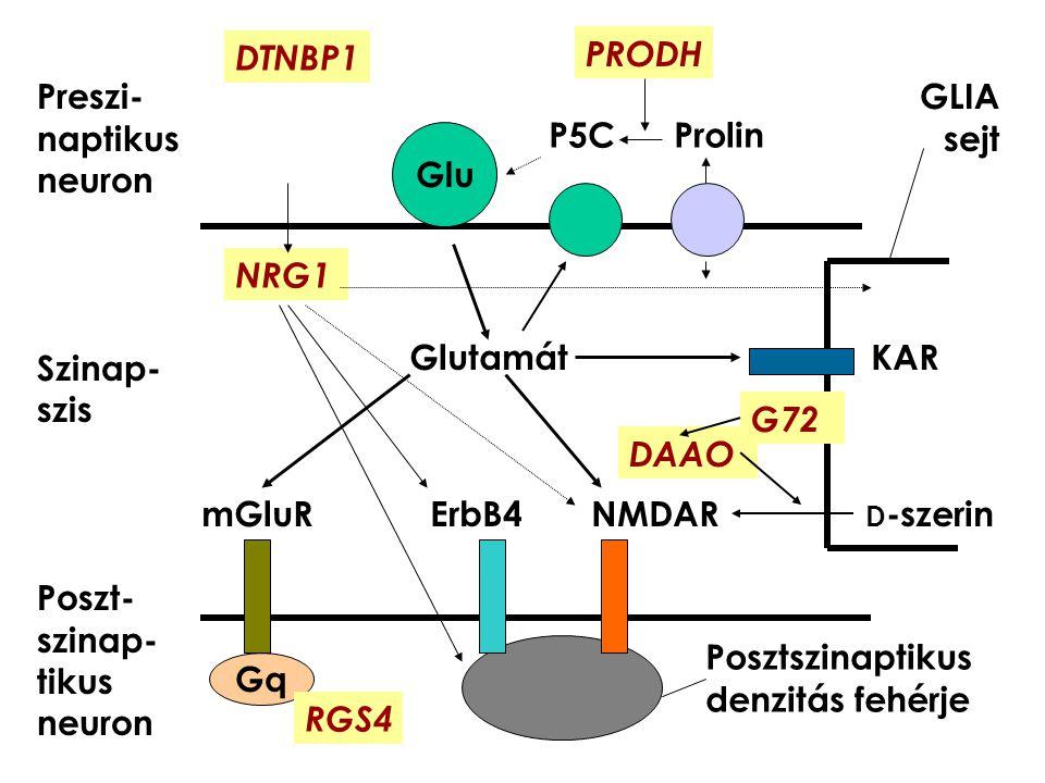 DTNBP1 PRODH. Preszi-naptikus neuron. Szinap-szis. Poszt-szinap-tikus neuron. GLIA sejt. P5C Prolin.