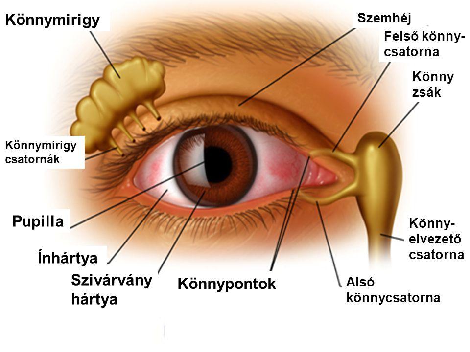 Könnymirigy Pupilla Ínhártya Szivárvány hártya Könnypontok Szemhéj