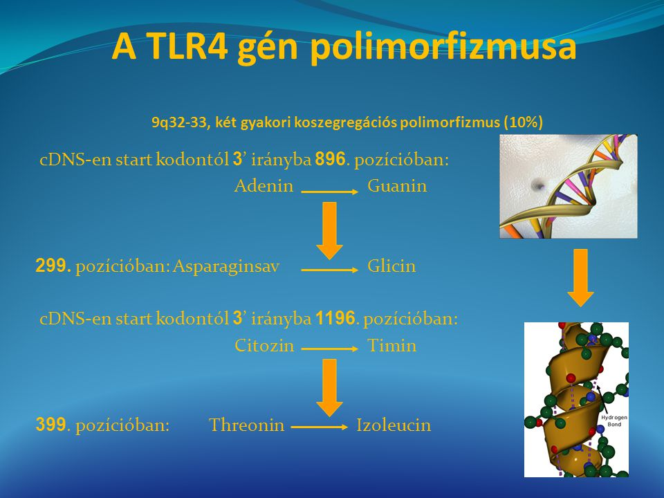 A TLR4 gén polimorfizmusa 9q32-33, két gyakori koszegregációs polimorfizmus (10%)