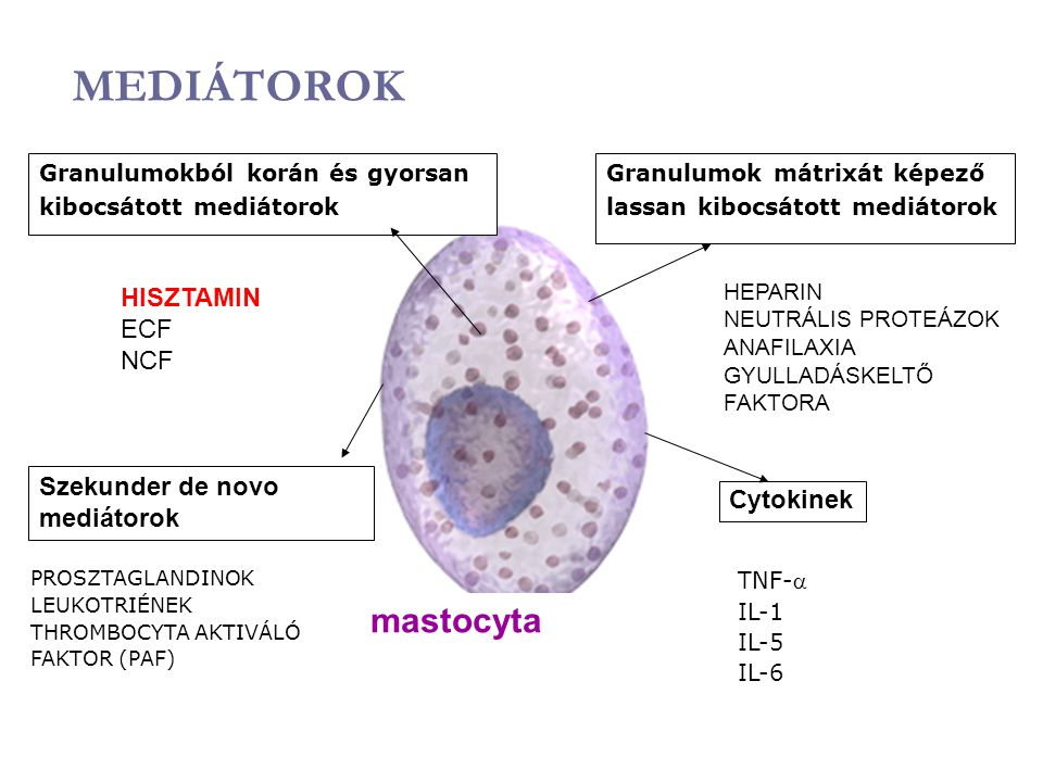 MEDIÁTOROK mastocyta HISZTAMIN ECF NCF Szekunder de novo mediátorok