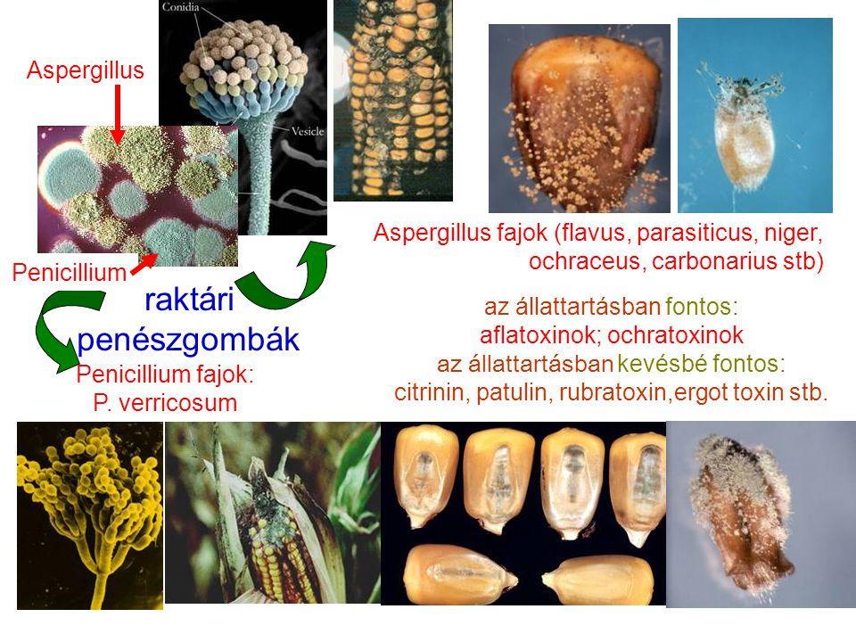 raktári penészgombák Aspergillus