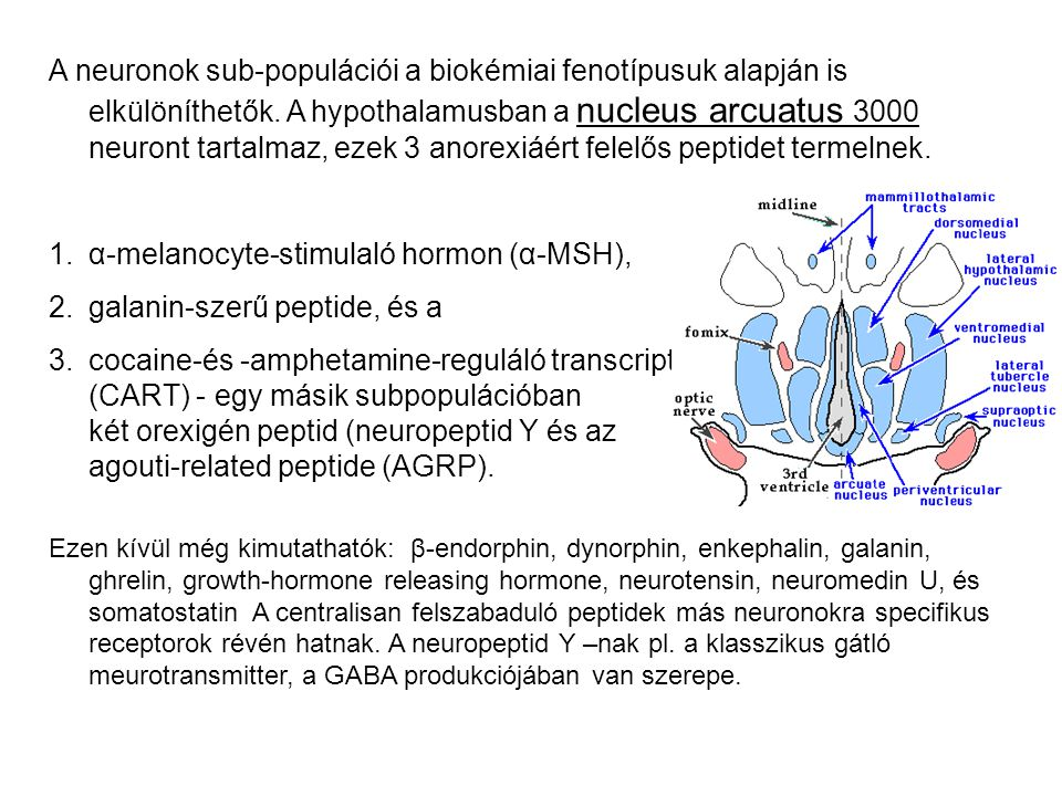 α-melanocyte-stimulaló hormon (α-MSH), galanin-szerű peptide, és a