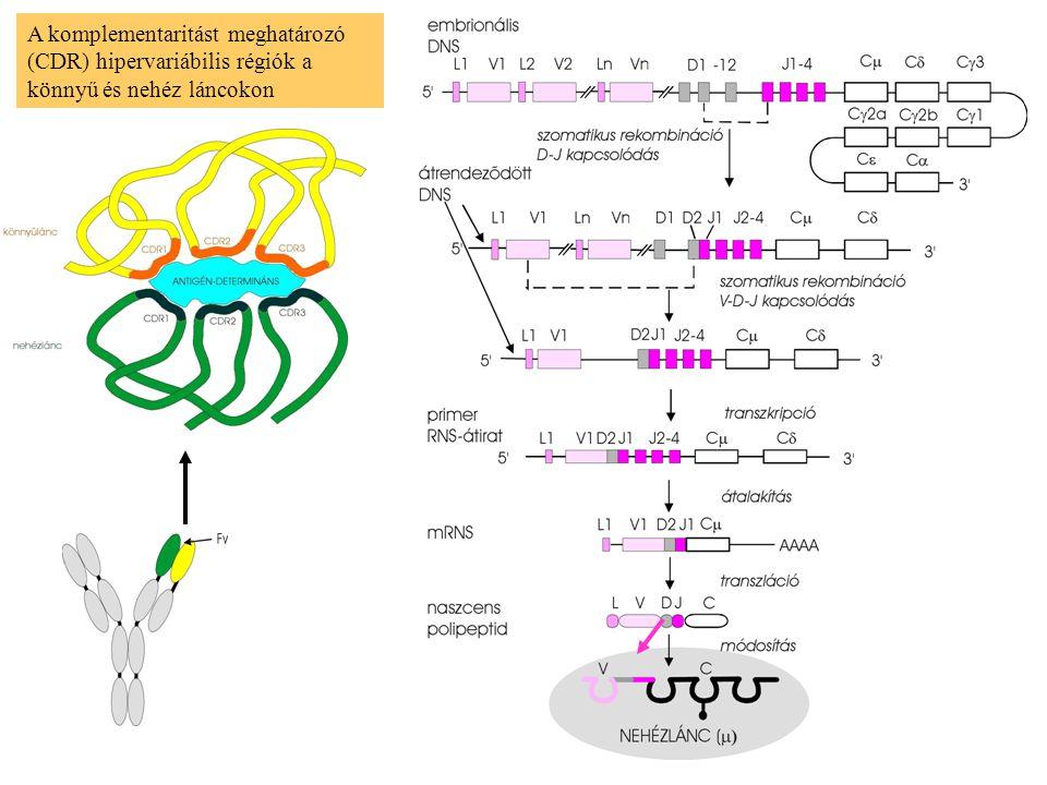 A komplementaritást meghatározó (CDR) hipervariábilis régiók a könnyű és nehéz láncokon