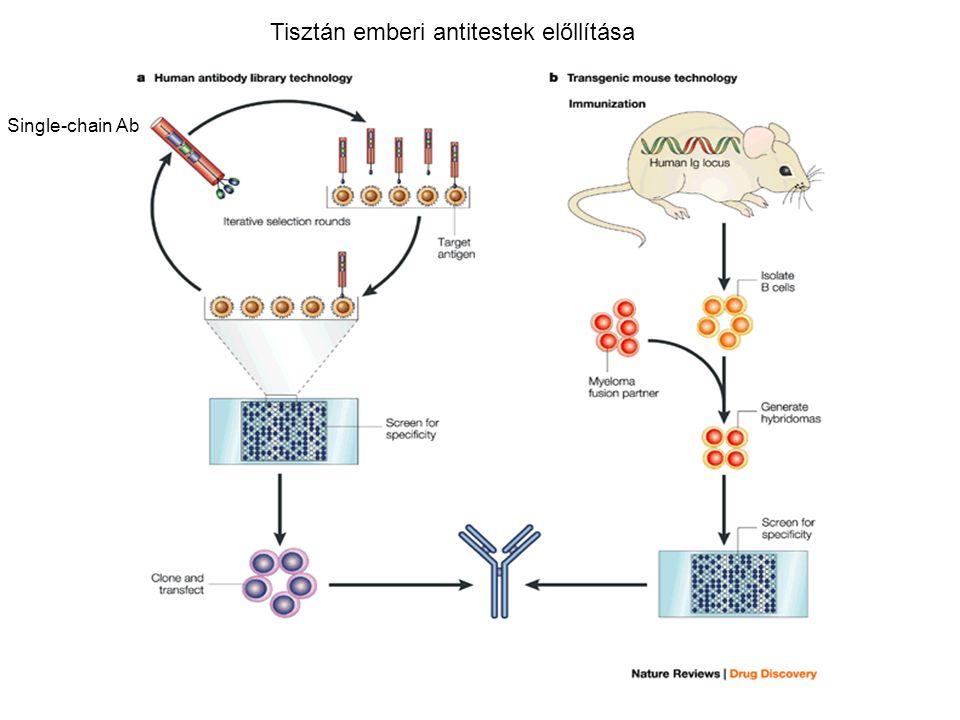 Tisztán emberi antitestek előllítása