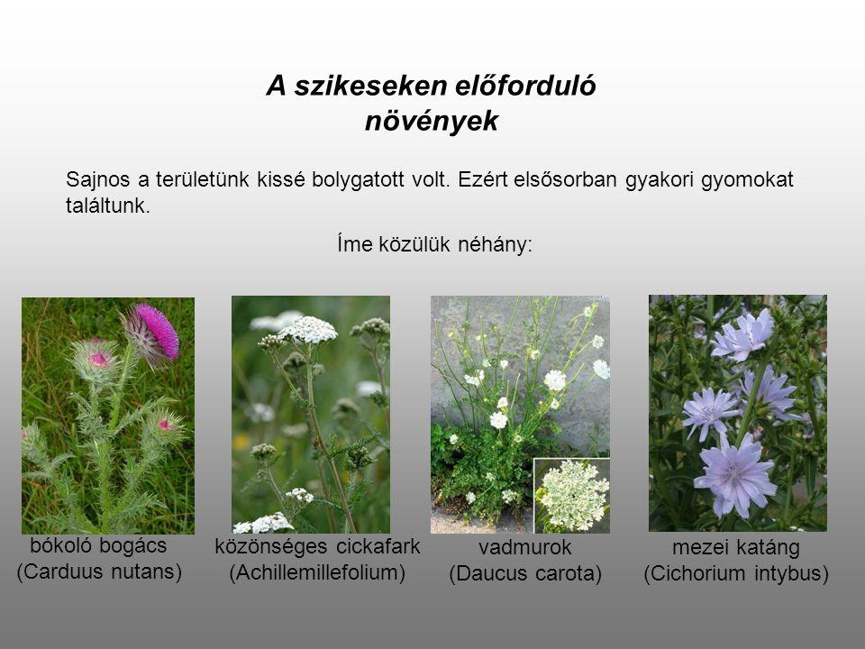 A szikeseken előforduló növények