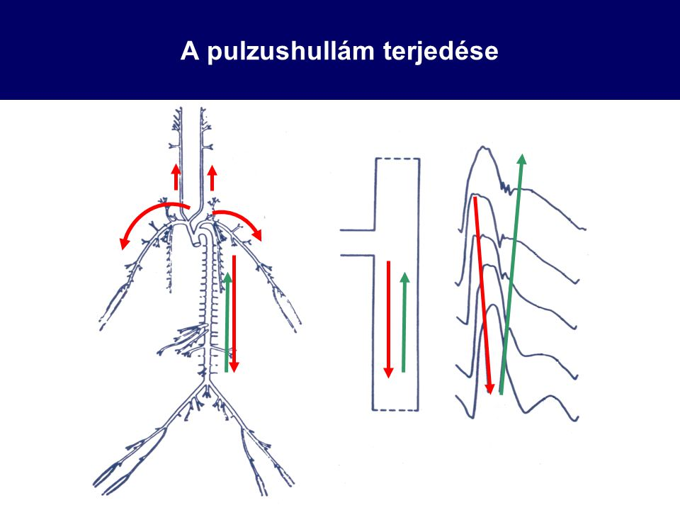 A pulzushullám terjedése