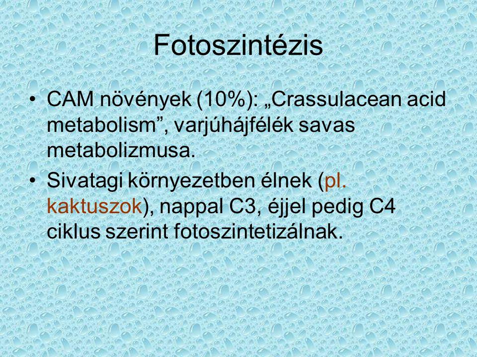 """Fotoszintézis CAM növények (10%): """"Crassulacean acid metabolism , varjúhájfélék savas metabolizmusa."""