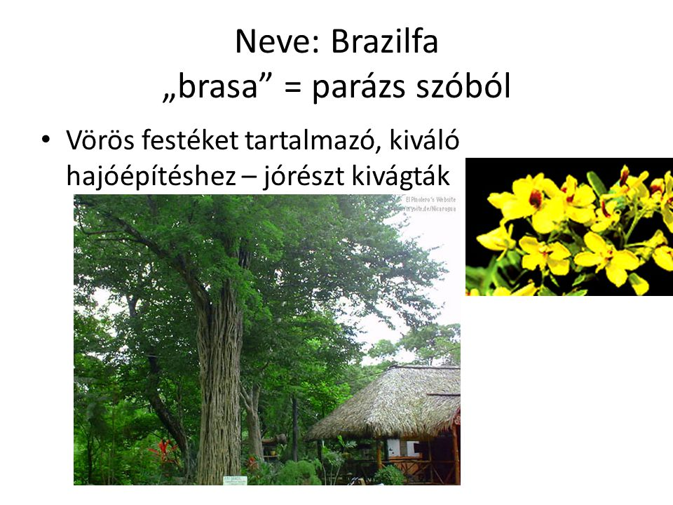 """Neve: Brazilfa """"brasa = parázs szóból"""