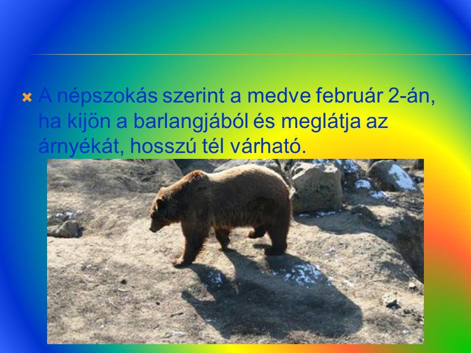 A népszokás szerint a medve február 2-án, ha kijön a barlangjából és meglátja az árnyékát, hosszú tél várható.