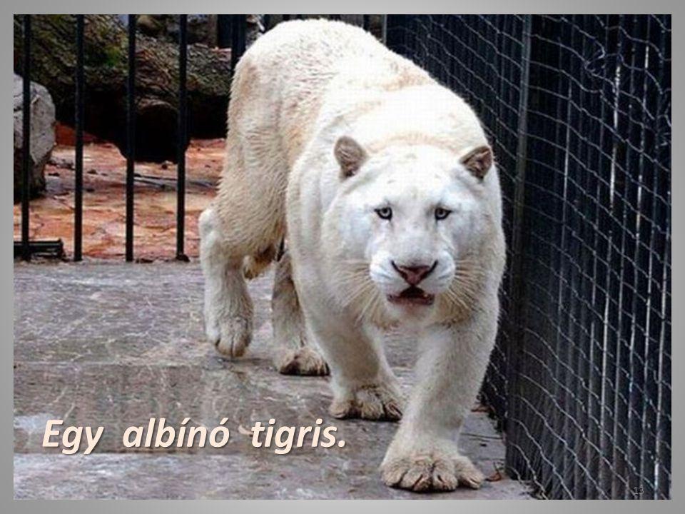 Egy albínó tigris.