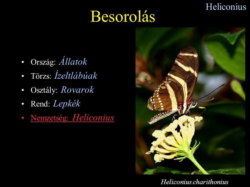 Besorolás Heliconius Ország: Állatok Törzs: Ízeltlábúak
