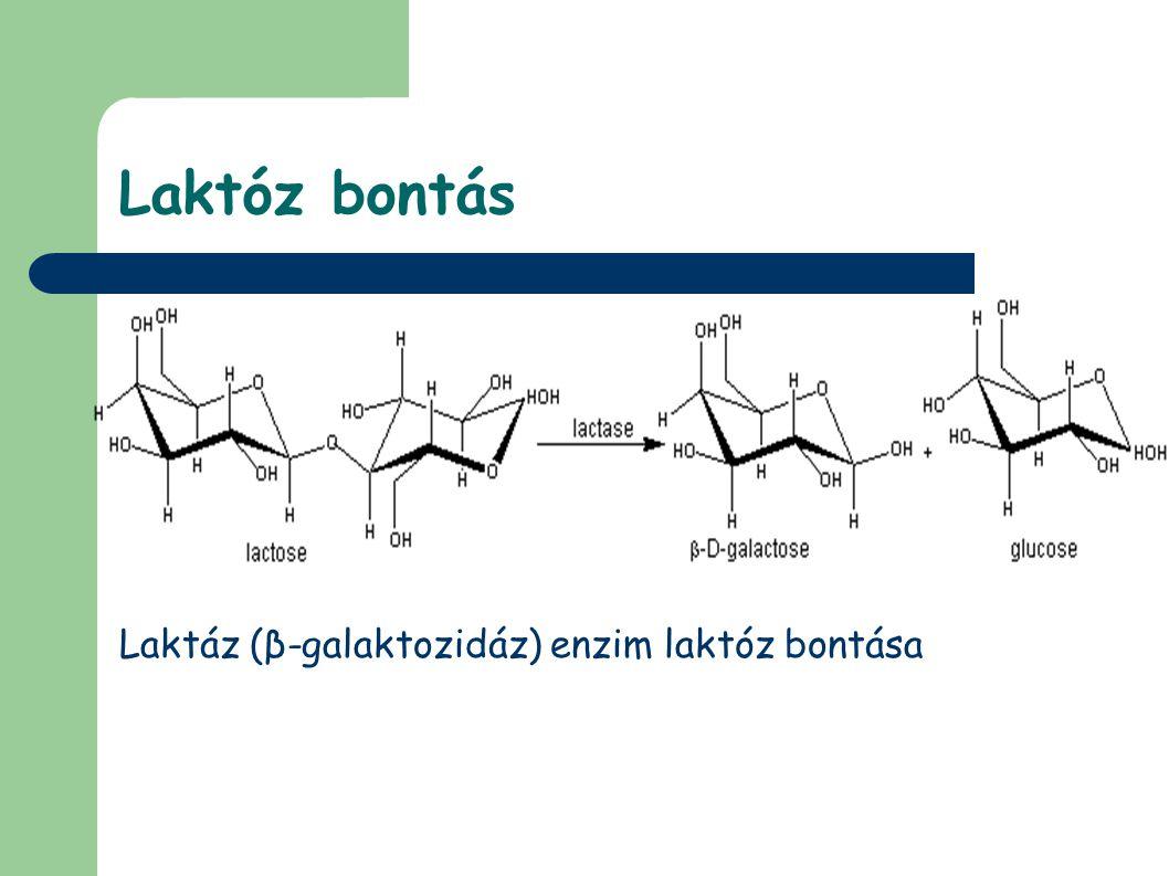 Laktóz bontás Laktáz (β-galaktozidáz) enzim laktóz bontása