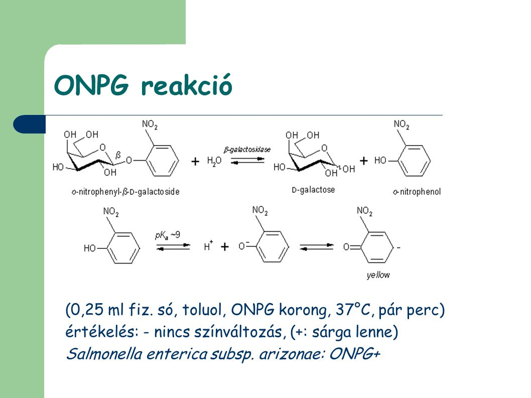 ONPG reakció (0,25 ml fiz. só, toluol, ONPG korong, 37°C, pár perc)