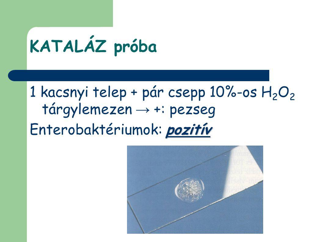 KATALÁZ próba 1 kacsnyi telep + pár csepp 10%-os H2O2 tárgylemezen → +: pezseg.