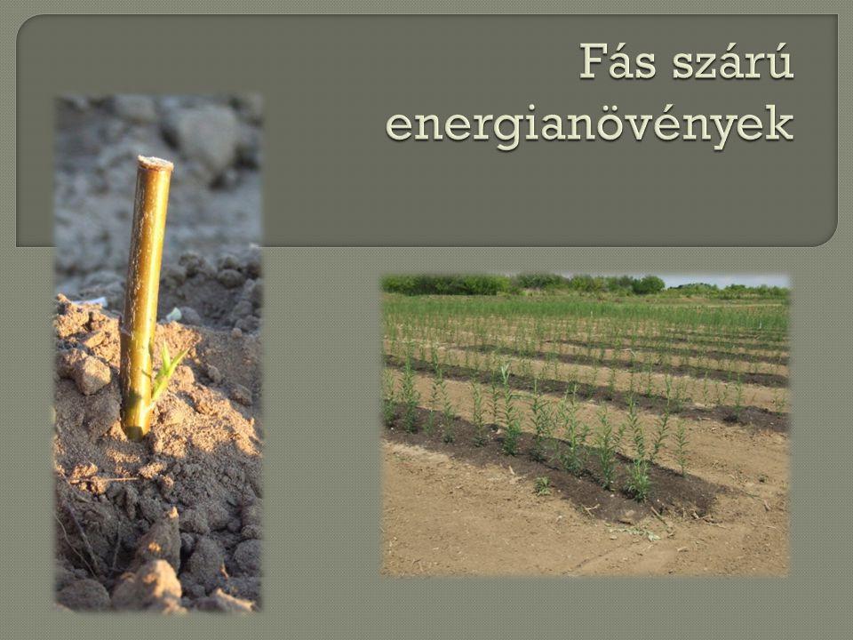 Fás szárú energianövények