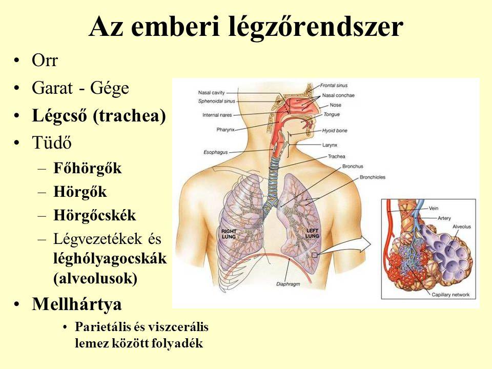 Az emberi légzőrendszer