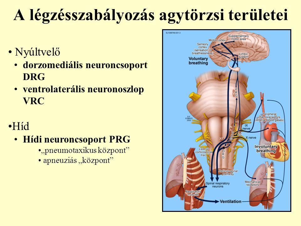 A légzésszabályozás agytörzsi területei
