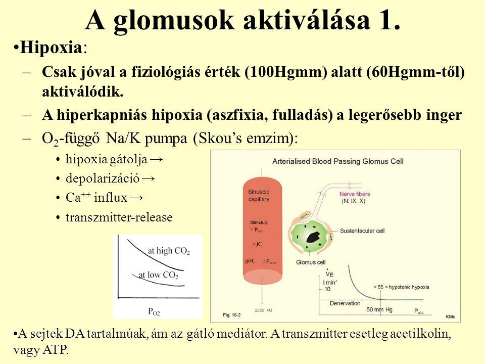 A glomusok aktiválása 1. Hipoxia: