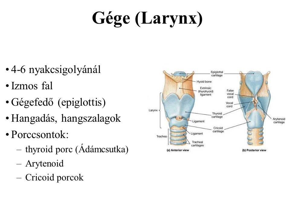 Gége (Larynx) 4-6 nyakcsigolyánál Izmos fal Gégefedő (epiglottis)