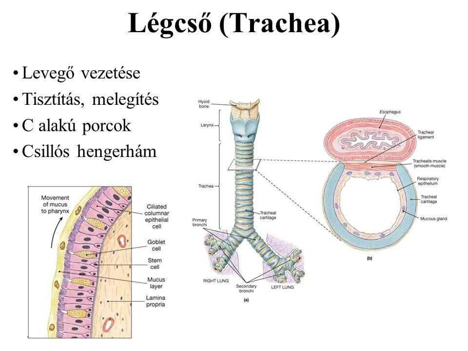 Légcső (Trachea) Levegő vezetése Tisztítás, melegítés C alakú porcok