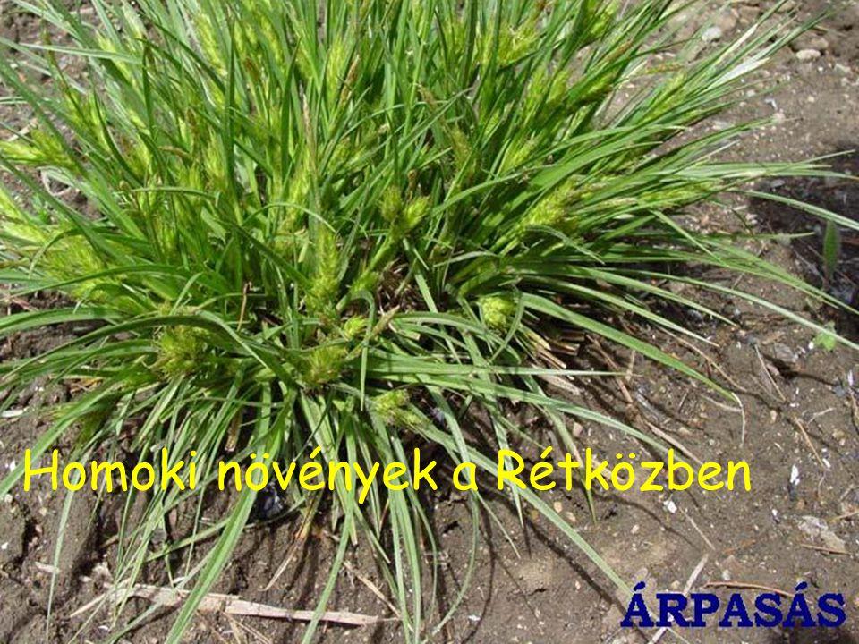 Homoki növények a Rétközben