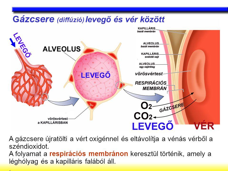 Gázcsere (diffúzió) levegő és vér között
