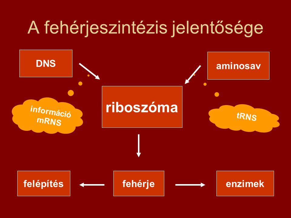 A fehérjeszintézis jelentősége