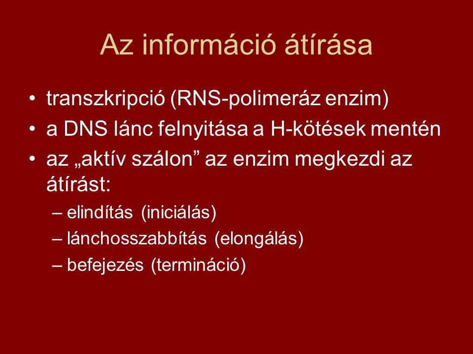 Az információ átírása transzkripció (RNS-polimeráz enzim)