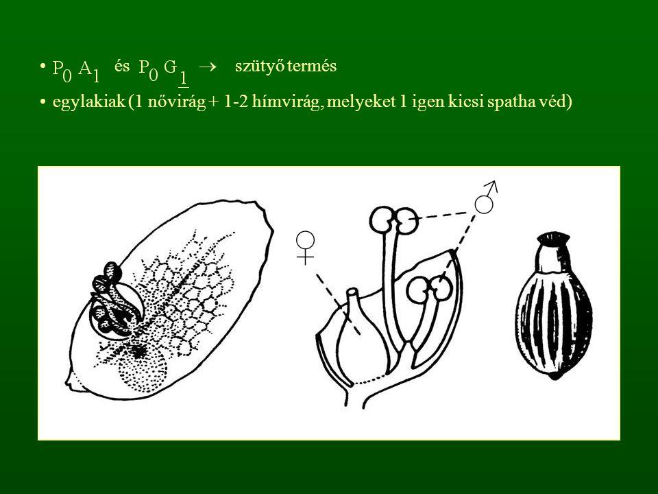 és  szütyő termés egylakiak (1 nővirág + 1-2 hímvirág, melyeket 1 igen kicsi spatha véd)