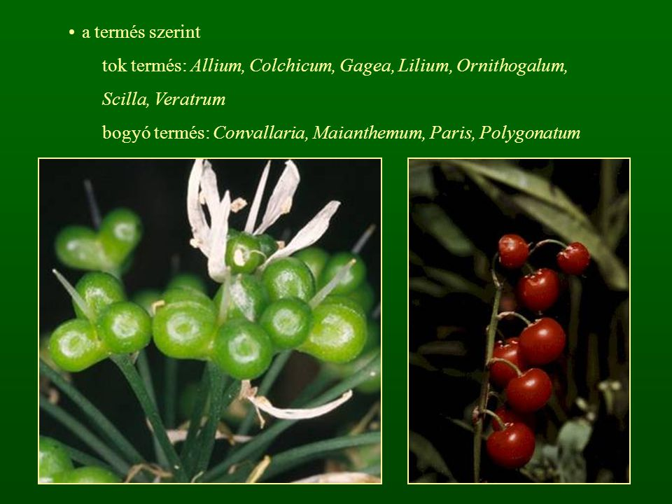 a termés szerint tok termés: Allium, Colchicum, Gagea, Lilium, Ornithogalum, Scilla, Veratrum.