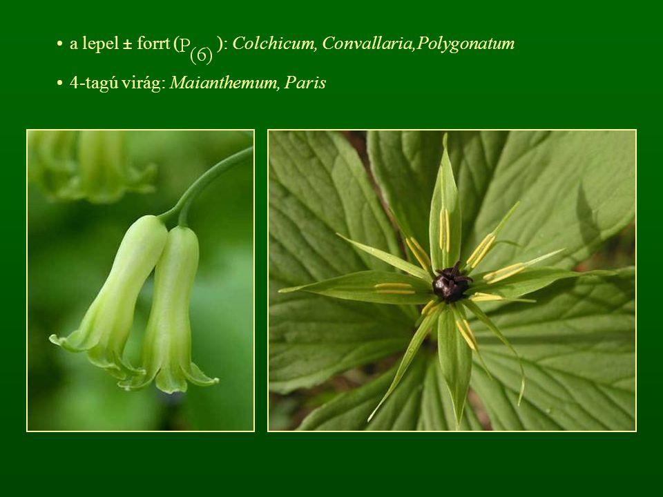 a lepel ± forrt ( ): Colchicum, Convallaria,Polygonatum