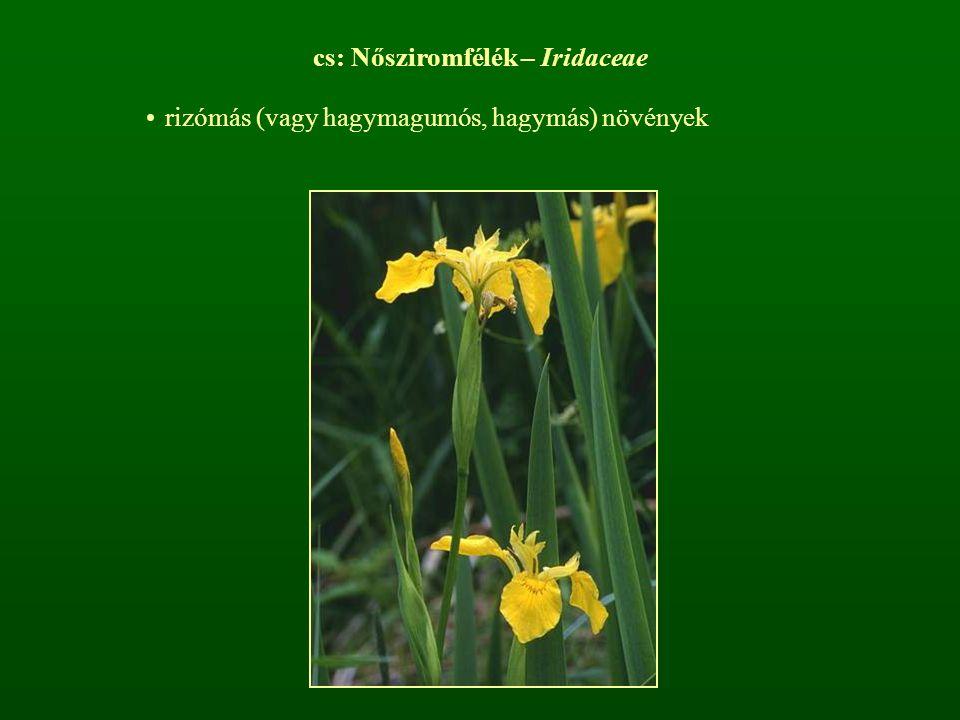 cs: Nősziromfélék – Iridaceae