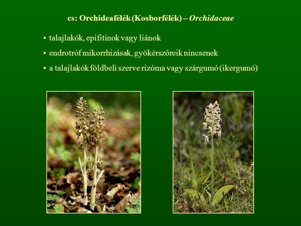 cs: Orchideafélék (Kosborfélék) – Orchidaceae