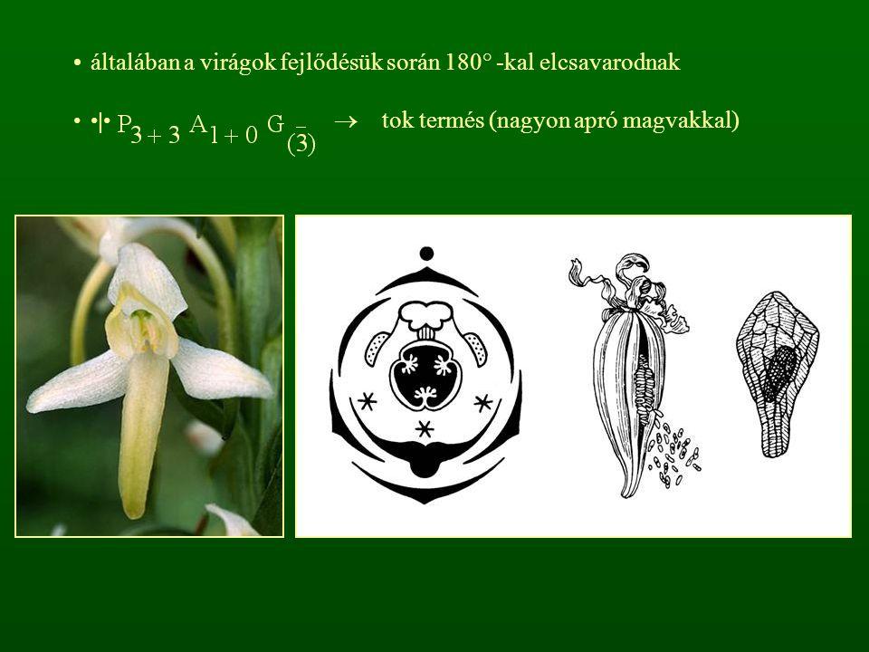 általában a virágok fejlődésük során 180° -kal elcsavarodnak